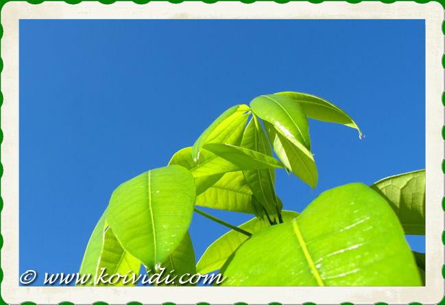 feuilles pistachier d'Inde