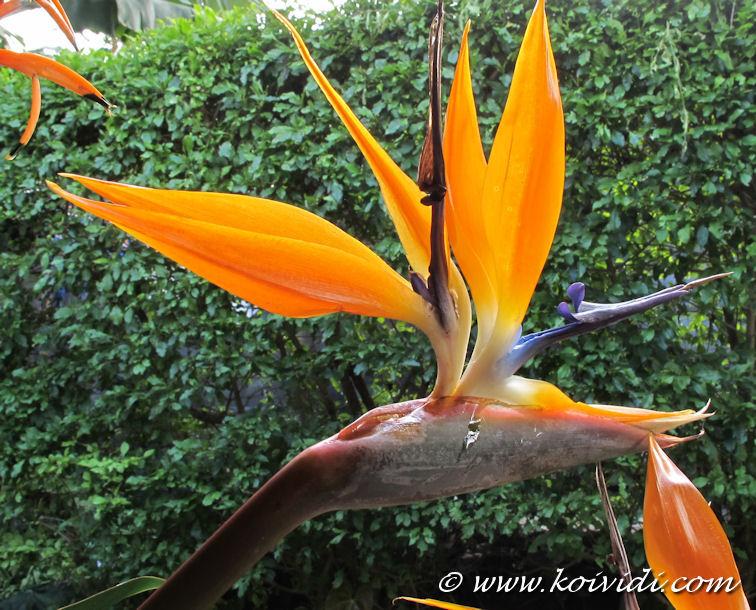 Oiseau de paradis ou strelitzia reginae de l exotisme dans - Noms de fleurs et plantes ...