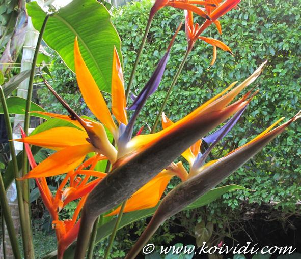 Oiseau de paradis ou strelitzia reginae de l exotisme dans le jardin koi vi di - Plante oiseau de paradis ...