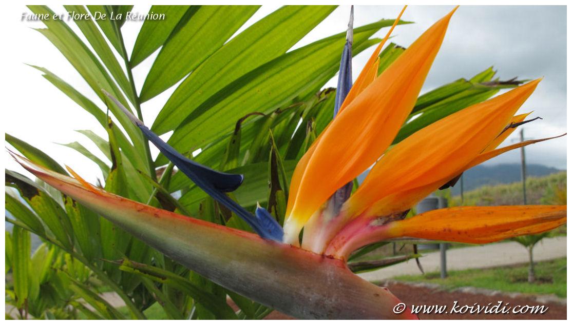oiseau de paradis ou strelitzia reginae de l exotisme dans le jardin koi vi di. Black Bedroom Furniture Sets. Home Design Ideas
