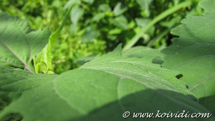 feuille velouté de l'herbe saint paul