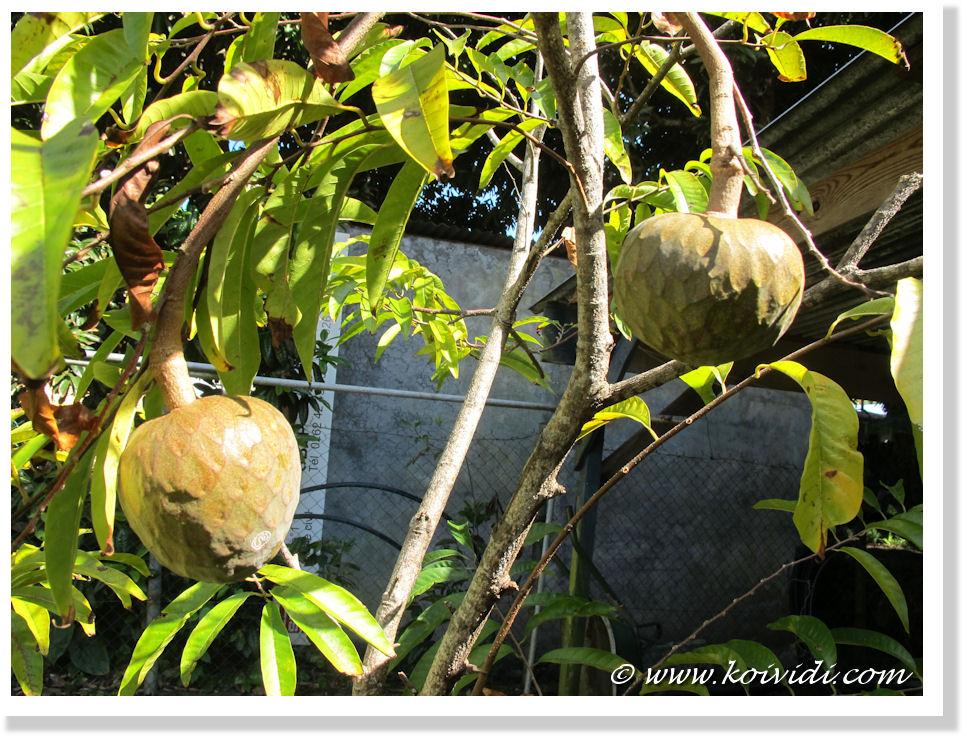 Un Fruit De Plus En Plus Rare Le Coeur De Boeuf Koi Vi Di