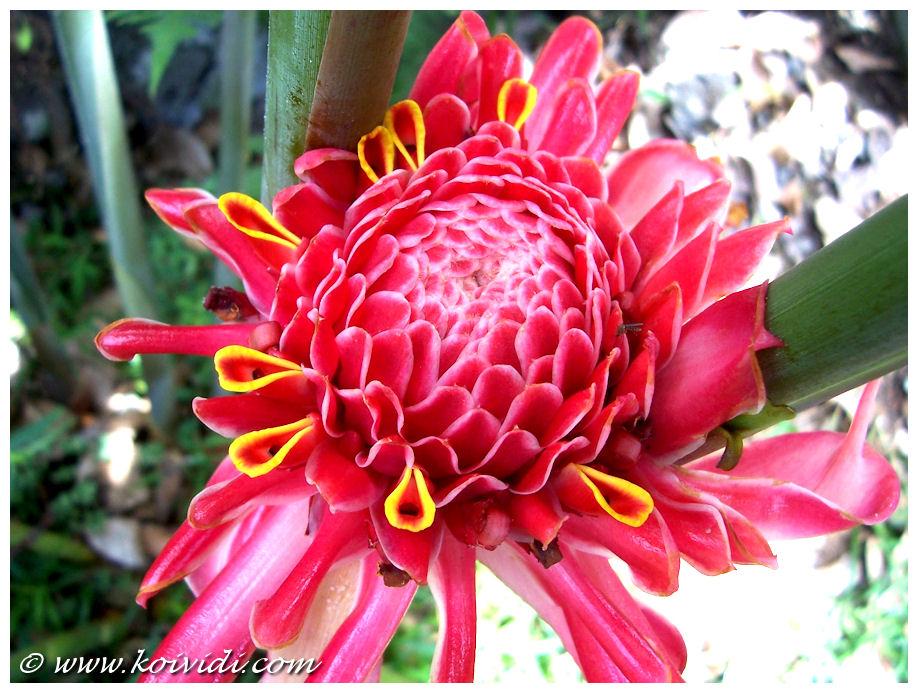 Fleur Koi Vi Di Part 2