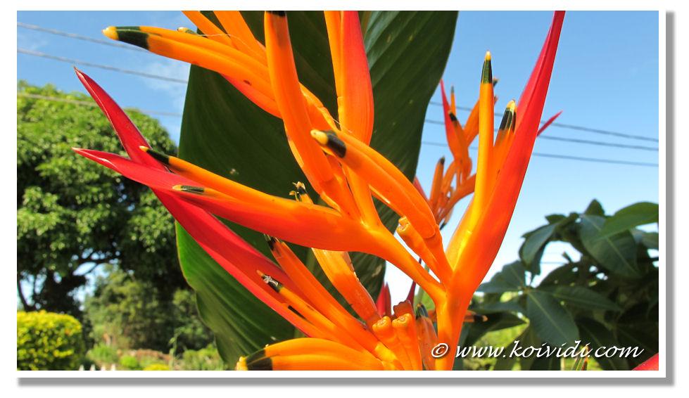Favorit Décembre à la Réunion avec le bec perroquet | Koi vi di ? RJ45