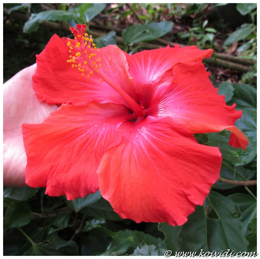 plante famille hibiscus