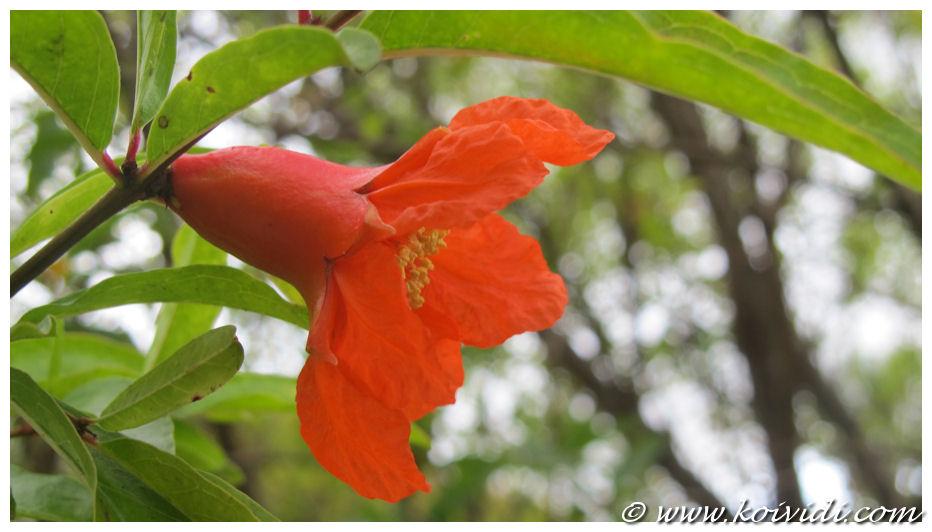 3 fleur du grenadier