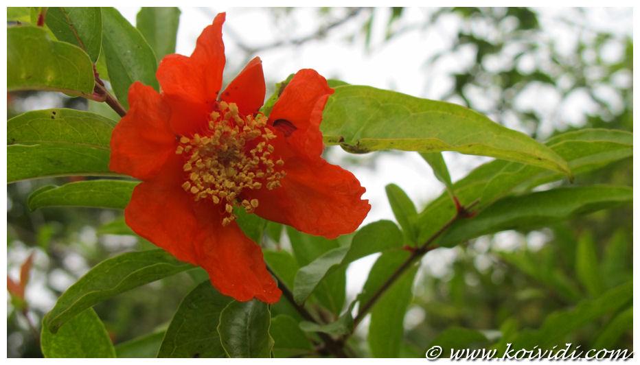 4 fleur grenadier