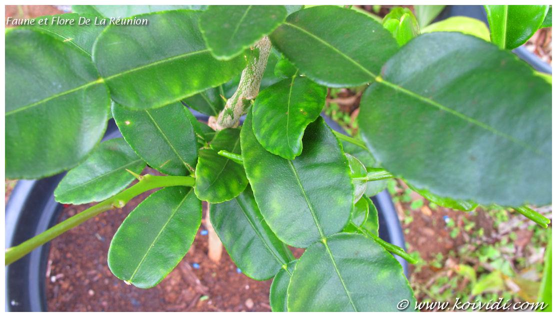 feuilles combava