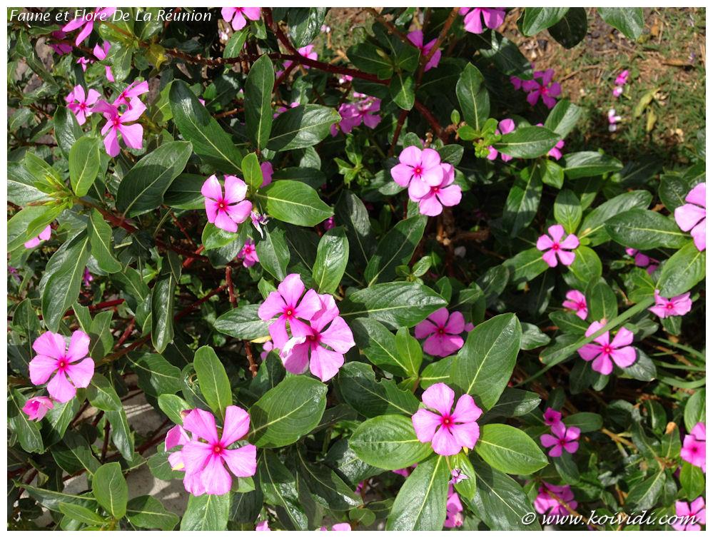 La Rose Amer Ou Pervenche De Madagascar Koi Vi Di
