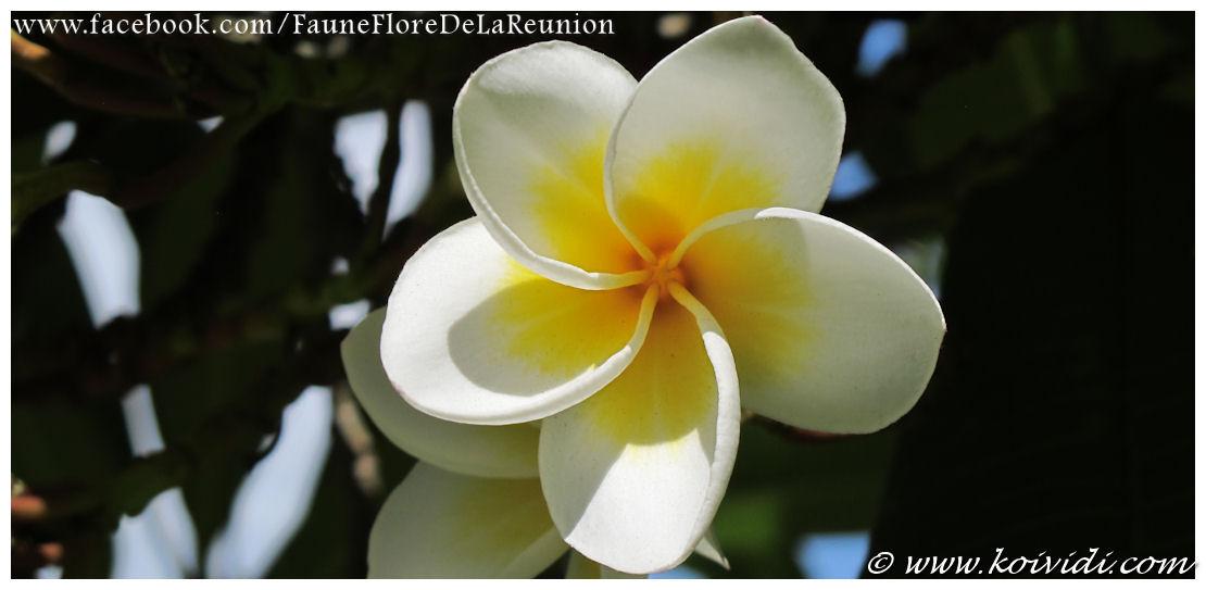 Fleur tropicale : le frangipanier ou plumeria | Koi vi di
