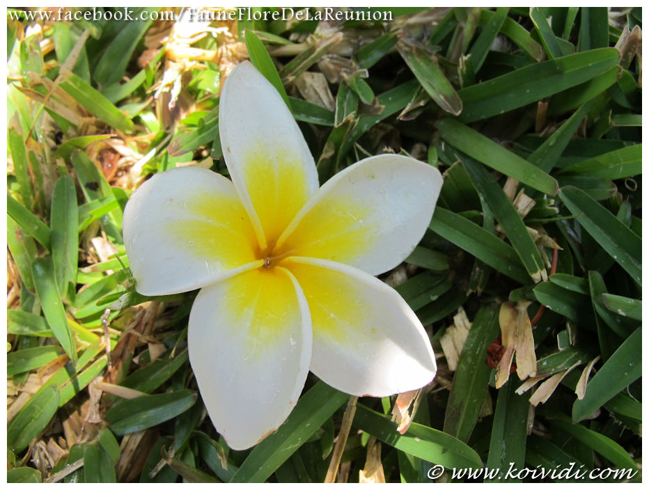 Fleur Tropicale Blanche Nom De Fleur Blanche En 8 Lettres Maison