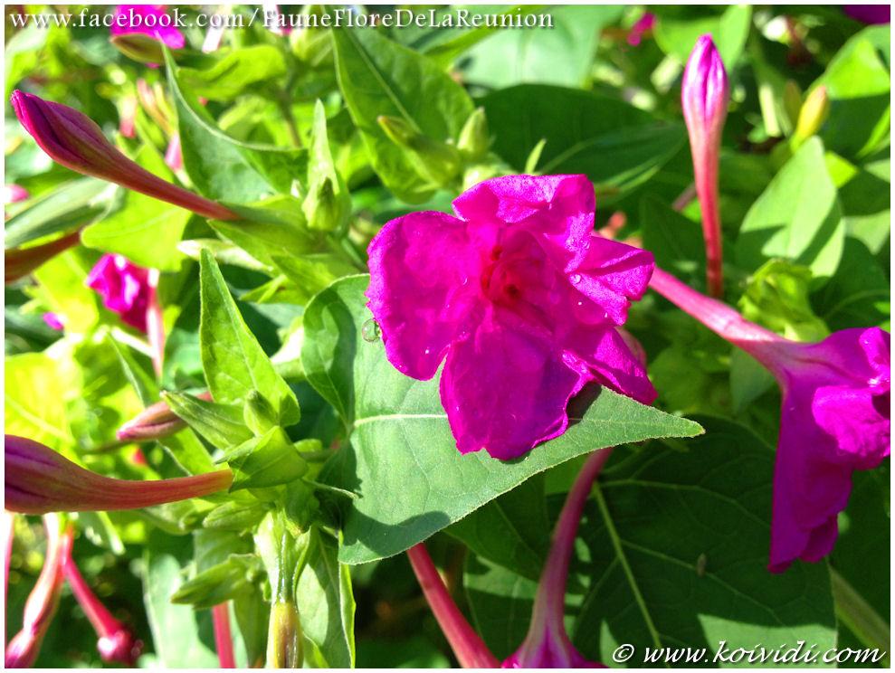 La belle de nuit ou la merveille du p rou koi vi di - Belle de nuit plante ...