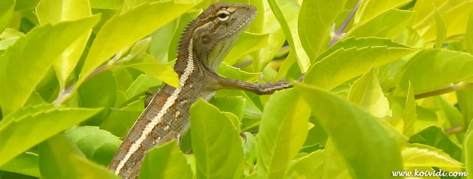L'agame arlequin, calotes versicolor ou caméléon à la Réunion