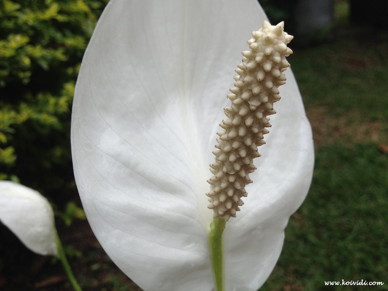 Spathiphyllum Fleur De Lune Ou Mains De La Vierge A La Reunion