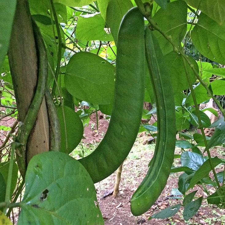 L gume lontan pois sabre ou haricot sabre koi vi di - Haricot vert fruit ou legume ...
