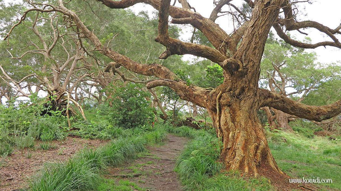 sentier forêt tamarins, Ravine Blanche, La Réunion
