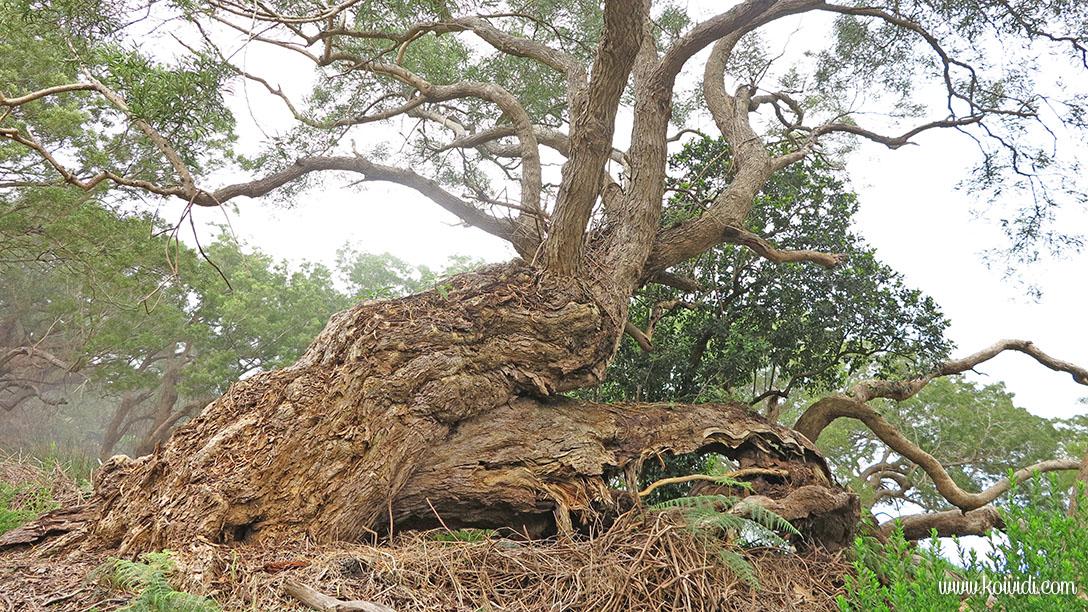 arbres de la Réunion