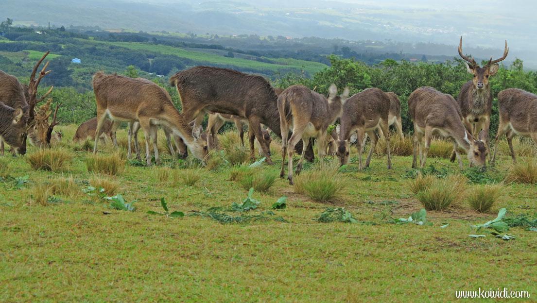 troupeau de cerfs