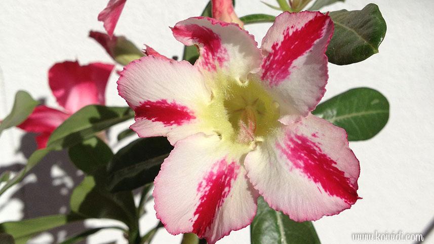 Rose du désert 2 couleurs