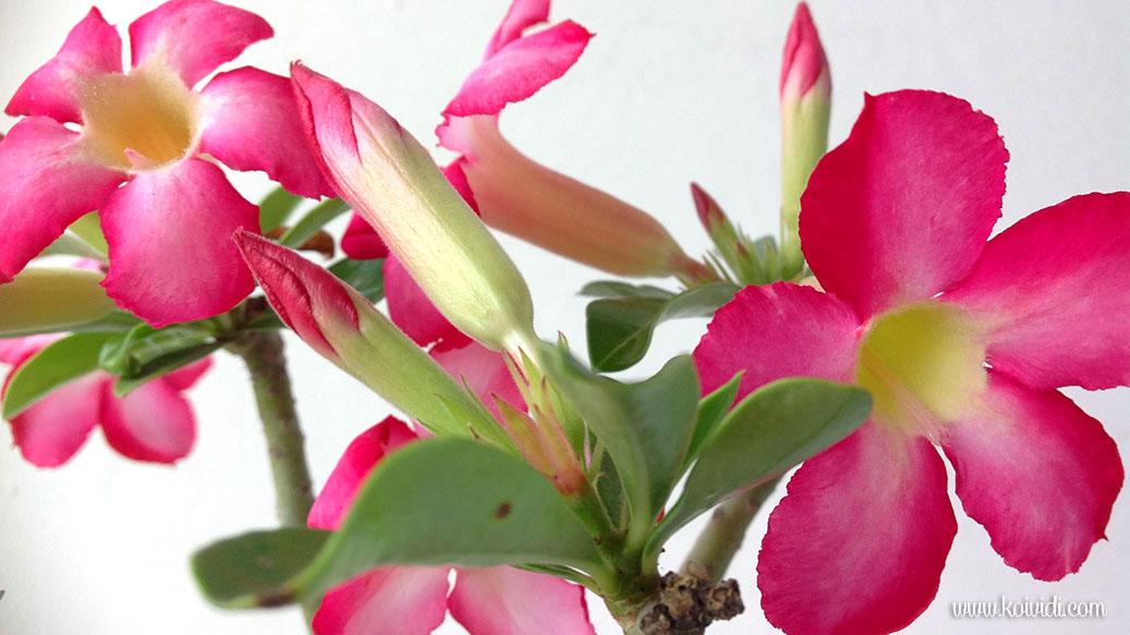 Rose du désert