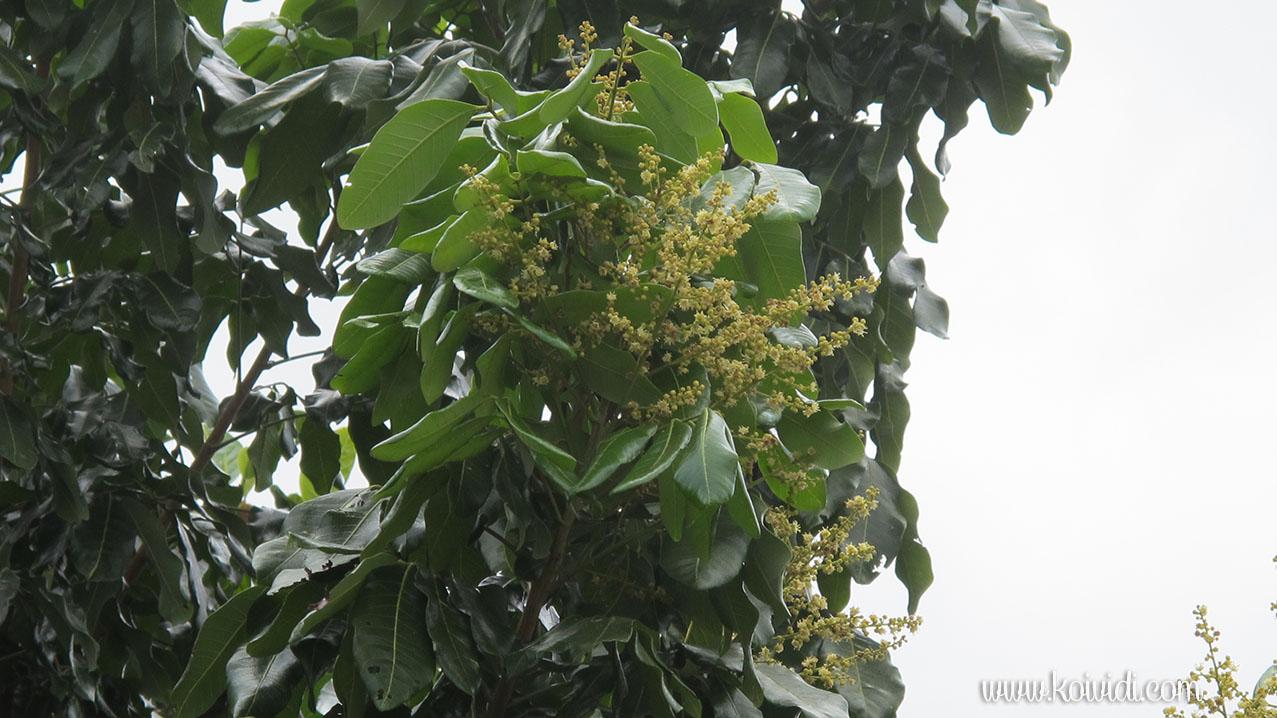 longan fleurs