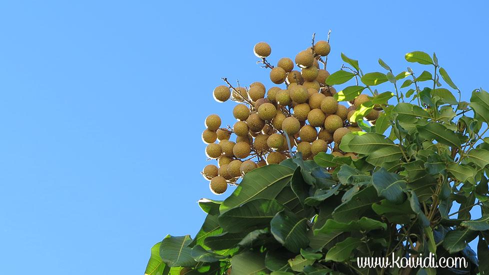 fruit longani