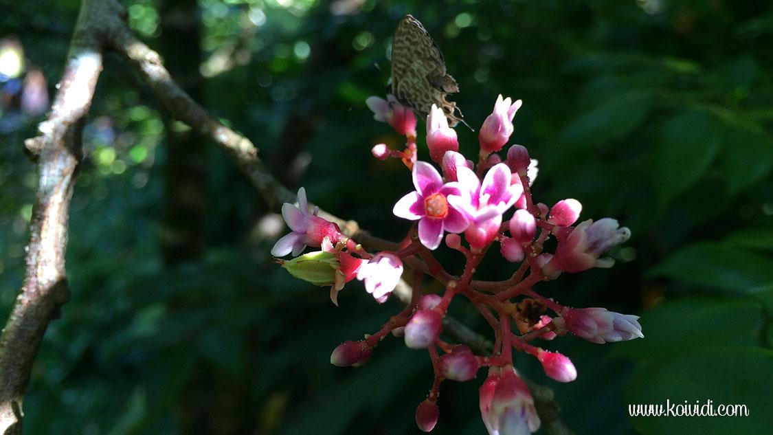 carambole fleurs