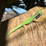 Le lézard ou Gecko vert de Manapany